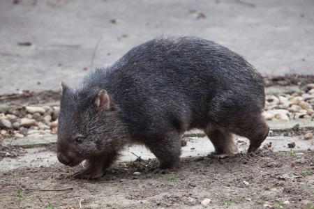 wombat: wombat com�n (Papio Vombatus). animales de la vida silvestre. Foto de archivo