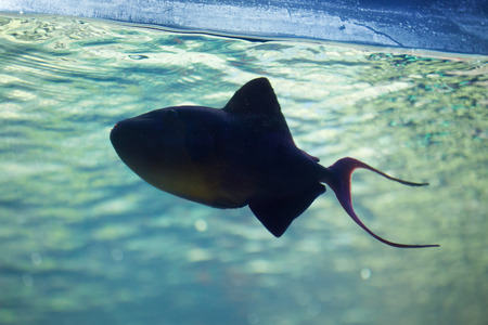 trigger fish: Red-toothed triggerfish (Odonus niger). Wild life animal.
