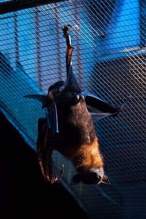 pteropus: Lyle flying fox (Pteropus lylei). Wild life animal.