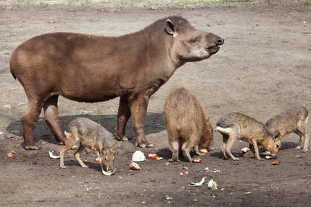 patagonian: South American tapir (Tapirus terrestris), also known as the Brazilian tapir, with Capybara (Hydrochoerus hydrochaeris) and Patagonian mara (Dolichotis patagonum). Wild life animal.