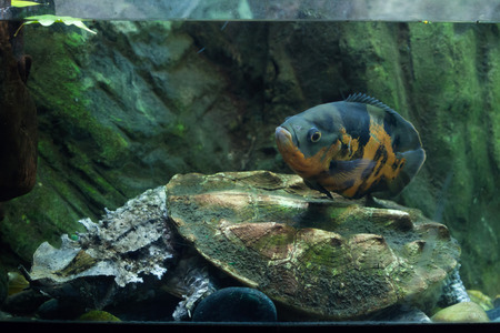 Oscar (Astronotus ocellatus) swimming over the mata mata (Chelus fimbriata). Wild life animal.