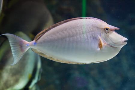 unicorn fish: Bluespine unicornfish (Naso unicornis), also known as the short-nose unicornfish. Wild life animal.
