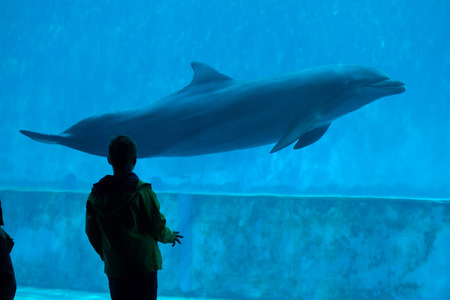 bottlenose: GENOA, ITALY - MARCH 22, 2016: Young visitor observes as the common bottlenose dolphin (Tursiops truncatus) swims in the Genoa Aquarium in Genoa, Liguria, Italy.