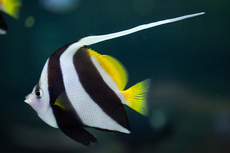 chaetodontidae: Pennant coralfish (Heniochus acuminatus), also known as the reef bannerfish or coachman. Wild life animal.