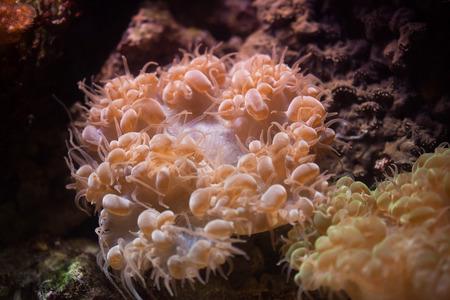 branching coral: Bubble coral (Plerogyra sinuosa). Wild life animal.