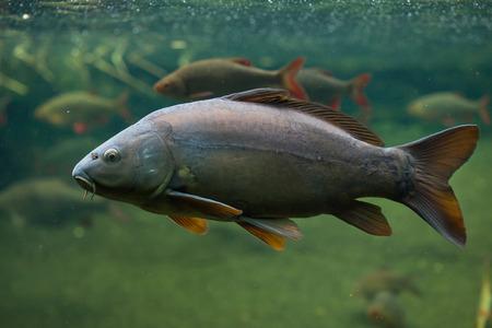 cypriniformes: Mirror carp (Cyprinus carpio carpio). Wild life animal.