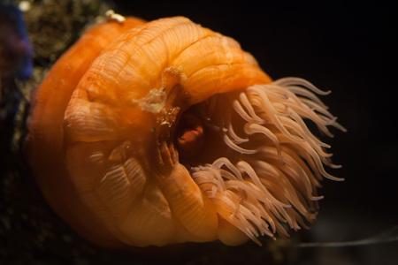 anthozoa: Beadlet anemone (Actinia equine). Wild life animal.