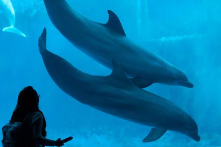 bottlenose: GENOA, ITALY - MARCH 22, 2016: Visitor observes as common bottlenose dolphins (Tursiops truncatus) swim in the Genoa Aquarium in Genoa, Liguria, Italy. Editorial
