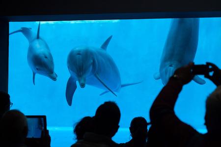observe: GENOA, ITALY - MARCH 22, 2016: Visitors observe as common bottlenose dolphins (Tursiops truncatus) swim in the Genoa Aquarium in Genoa, Liguria, Italy.