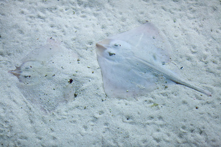 cartilaginous: Thornback ray (Raja clavata), also known as the thornback skate. Wild life animal.