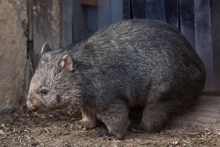 wombat: wombat común (Papio Vombatus). animales de la vida silvestre. Foto de archivo
