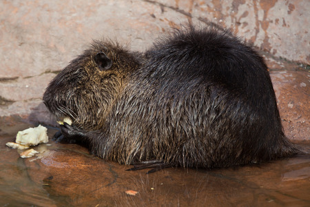 nutria: Coypu (Myocastor coypus), also known as the river rat or nutria. Wild life animal. Stock Photo