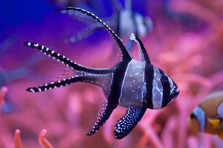 perciformes: Banggai cardinalfish (Pterapogon kauderni). Wild life animal.
