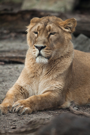 felid: Female Asiatic lion (Panthera leo persica), also known as the Indian lion. Wild life animal.