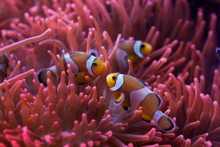 amphiprion: Ocellaris clownfish (Amphiprion ocellaris) swimming in the magnificent sea anemone (Heteractis magnifica). Wild life animal.