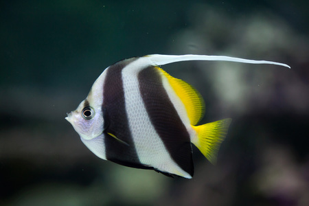 bannerfish: Pennant coralfish (Heniochus acuminatus), also known as the reef bannerfish or coachman. Wild life animal.