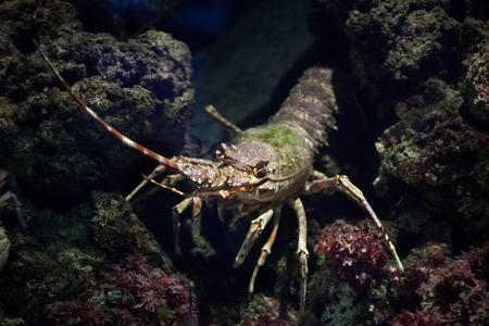 palinuridae: Common spiny lobster (Palinurus elephas), also known as the Mediterranean lobster. Wild life animal. Stock Photo