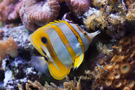chaetodontidae: Copperband butterflyfish (Chelmon rostratus). Wild life animal.