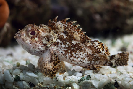 scorpionfish: Black scorpionfish (Scorpaena porcus). Wild life animal. Stock Photo