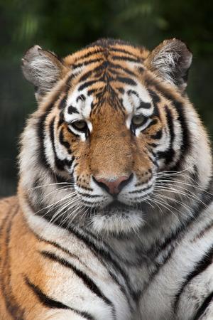 siberian tiger: Siberian tiger (Panthera tigris altaica), also known as the Amur tiger. Wild life animal.