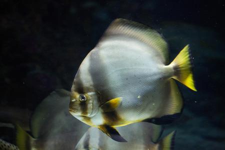 perciformes: Orbicular batfish (Platax orbicularis). Wild life animal. Stock Photo