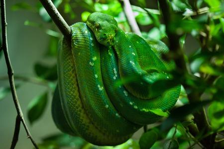 pythons: Green tree python (Morelia viridis). Wild life animal.