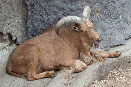 barbary: Barbary sheep (Ammotragus lervia). Wild life animal. Stock Photo