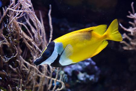 rabbitfish: Foxface rabbitfish (Siganus vulpinus). Wild life animal.