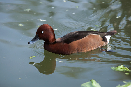 eurasian: Eurasian wigeon (Anas penelope).  Wild life animal. Stock Photo