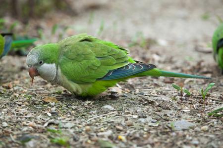 quaker: Monk parakeet (Myiopsitta monachus), also known as the quaker parrot. Wild life animal. Stock Photo