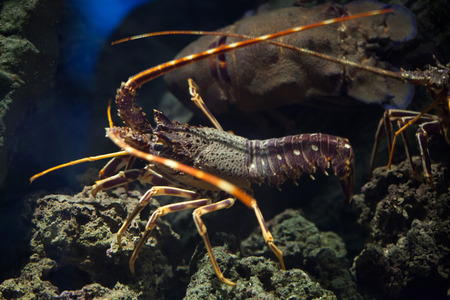 spiny lobster: Common spiny lobster (Palinurus elephas), also known as the Mediterranean lobster. Wild life animal. Stock Photo