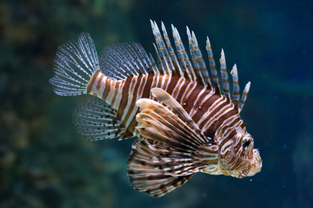 pterois: Red lionfish (Pterois volitans). Wild life animal.