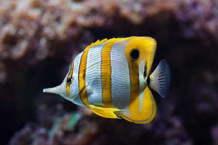Copperband butterflyfish (Chelmon rostratus). Wild life animal.