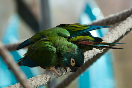 green winged macaw: Blue-winged macaw (Primolius maracana), also known as the Illiger macaw. Wild life animal.