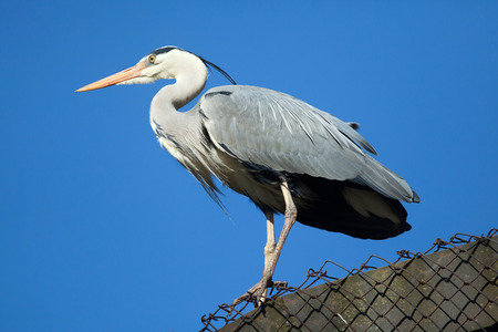 blue heron: Great blue heron (Ardea herodias). Wild life animal. Stock Photo