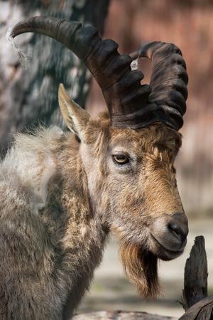 capra: West Caucasian tur (Capra caucasica), also known as the West Caucasian ibex. Wild life animal.