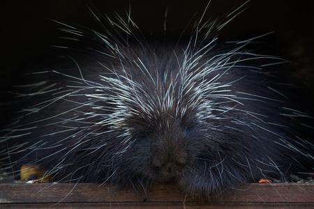 dorsata: North American porcupine (Erethizon dorsatum), also known as the Canadian porcupine. Wild life animal. Stock Photo