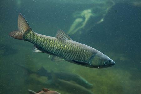 grass carp: Grass carp (Ctenopharyngodon idella). Wild life animal.