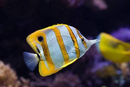 chaetodontidae: Copperband butterflyfish (Chelmon rostratus). Wild life animal.