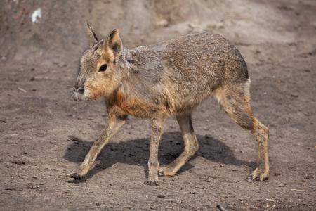 patagonian: Patagonian mara (Dolichotis patagonum), also known as the Patagonian cavy. Wild life animal. Stock Photo