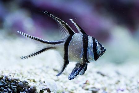 actinopterygii: Banggai cardinalfish (Pterapogon kauderni). Wild life animal.