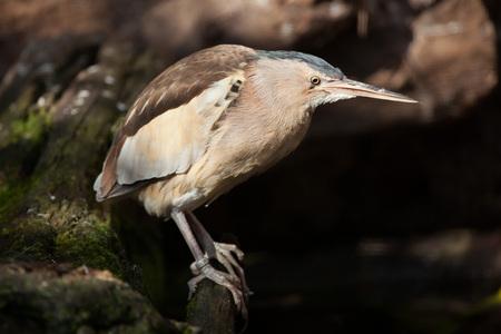 bittern: Little bittern (Ixobrychus minutus). Wild life animal. Stock Photo