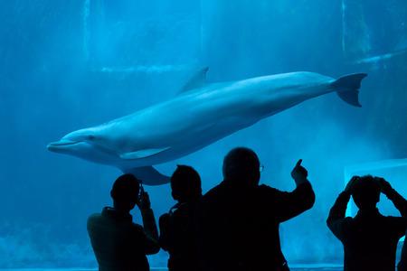bottlenose: GENOA, ITALY - MARCH 22, 2016: Visitors observe as the common bottlenose dolphin (Tursiops truncatus) swims in the Genoa Aquarium in Genoa, Liguria, Italy.