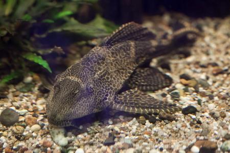 Orinoco sailfin catfish (Pterygoplichthys multiradiatus), also known as the pleco. Wild life animal. Standard-Bild