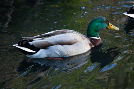 dabbling: Wild duck (Anas platyrhynchos), also known as the mallard. Wild life animal. Stock Photo