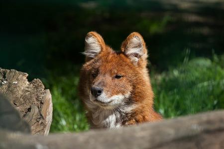 wild dog: Ussuri dhole (Cuon alpinus alpinus), also known as the Indian wild dog. Wild life animal.
