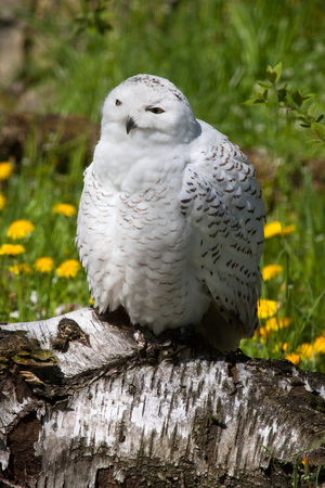dandelion snow: Snowy owl (Bubo scandiacus). Wild life animal. Stock Photo