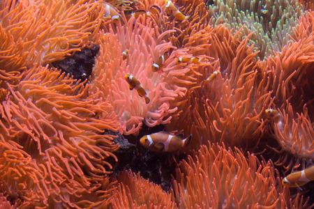 false percula clownfish: Ocellaris clownfish (Amphiprion ocellaris) swimming in the magnificent sea anemone (Heteractis magnifica). Wild life animal.