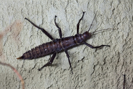 insecta: Thorny devil stick insect (Eurycantha calcarata), also known as the giant spiny stick insect. Wild life animal.