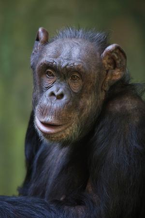 robust: Common chimpanzee (Pan troglodytes), also known as the robust chimpanzee. Wild life animal.
